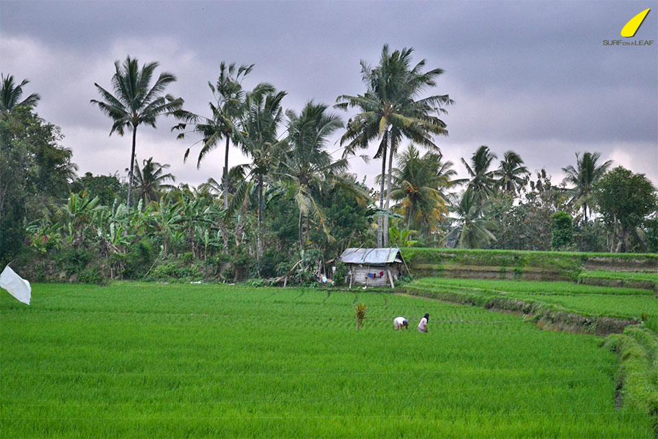rice-fields-Ubud
