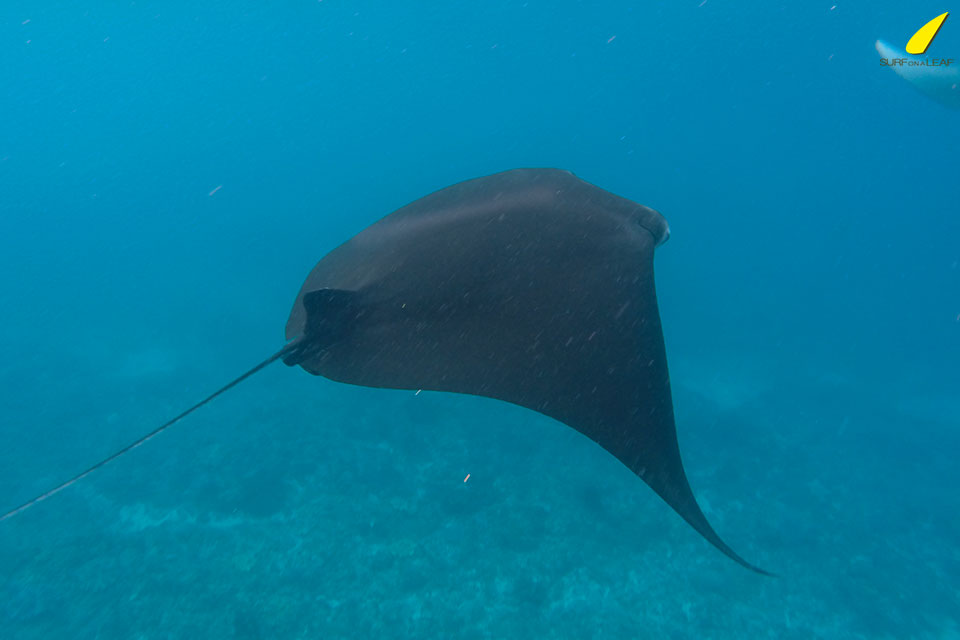 swim-with-manta-ray