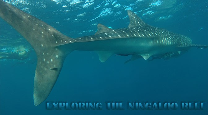 Ningaloo's Reef whale sharks